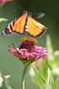 Flying Monarch Butterfly Picture