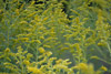 Yellow Goldenrod Picture