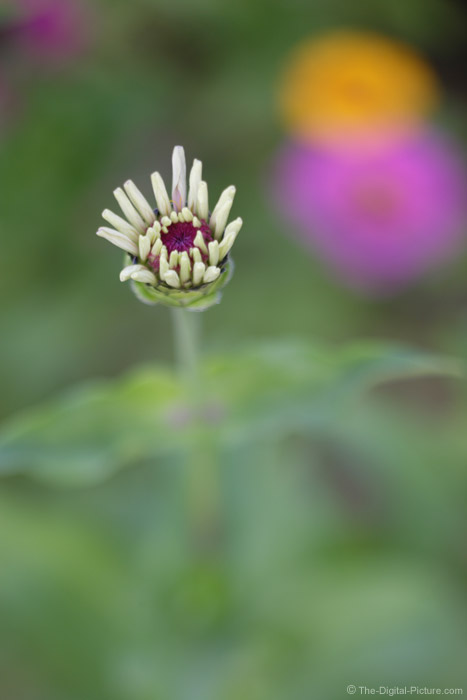 Zinnia Bloom Picture