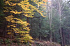Fall Woods Scene