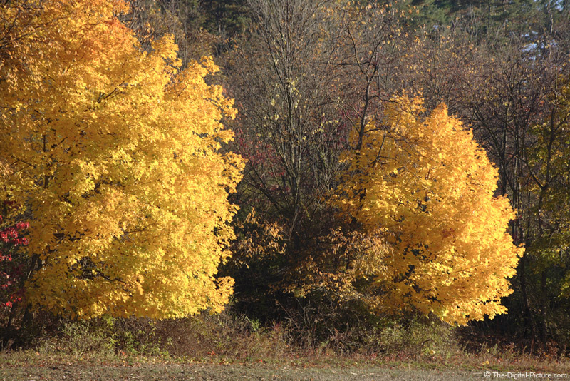 Fall Maple Trees Picture (190 mm)