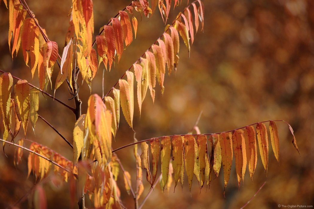 Fall Sumac Tree Picture