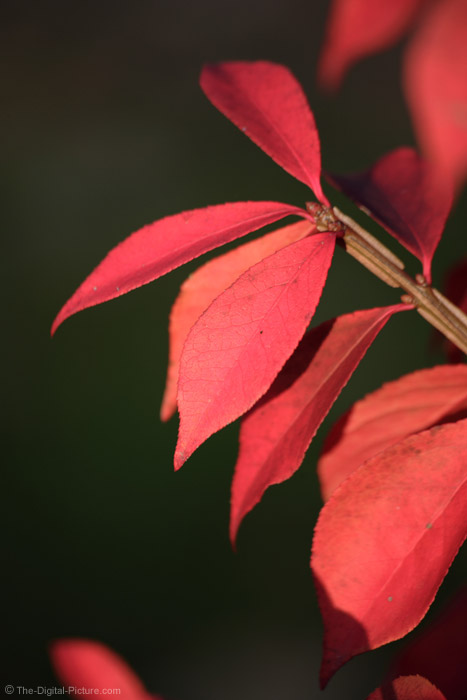 Red Fall Leaves Picture