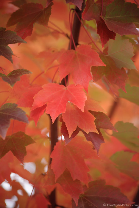 October Glory Maple Tree Picture