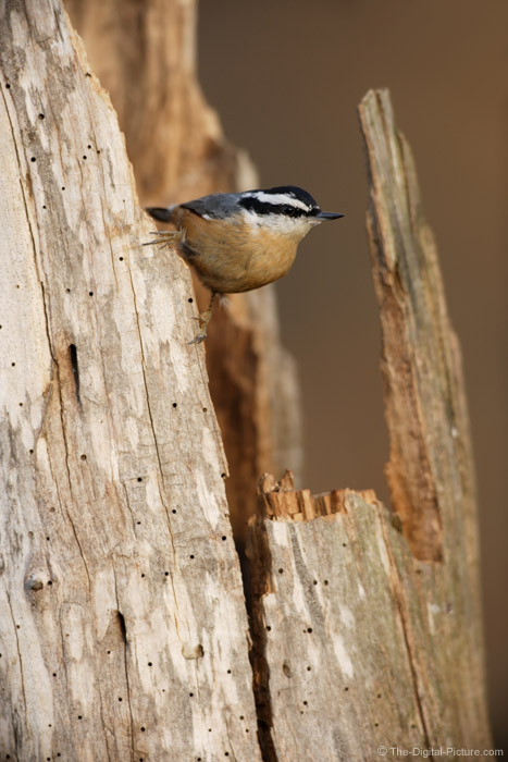 Red Breasted Nuthatch Picture
