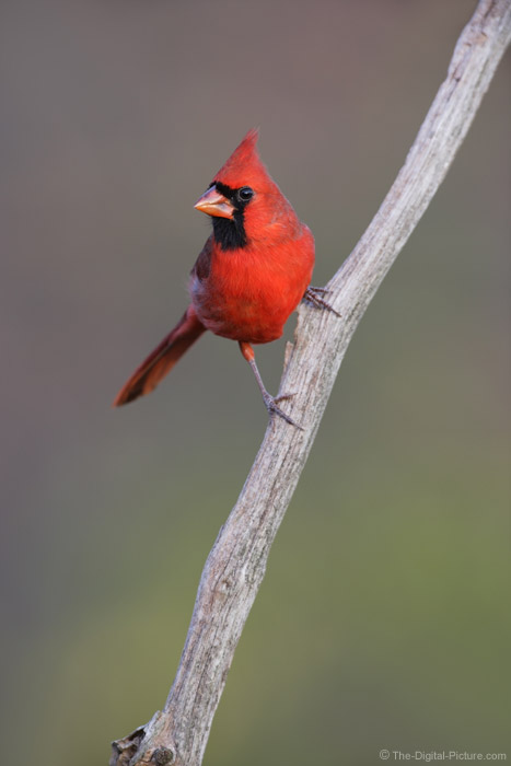 Cardinal on Branch Picture