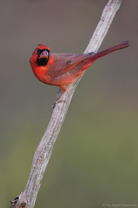 Perched Cardinal Picture