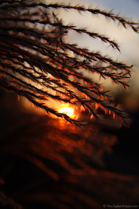 Sunset Behind Grass Plumes Picture