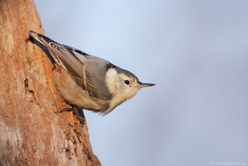 White Breasted Nuthatch Pictue
