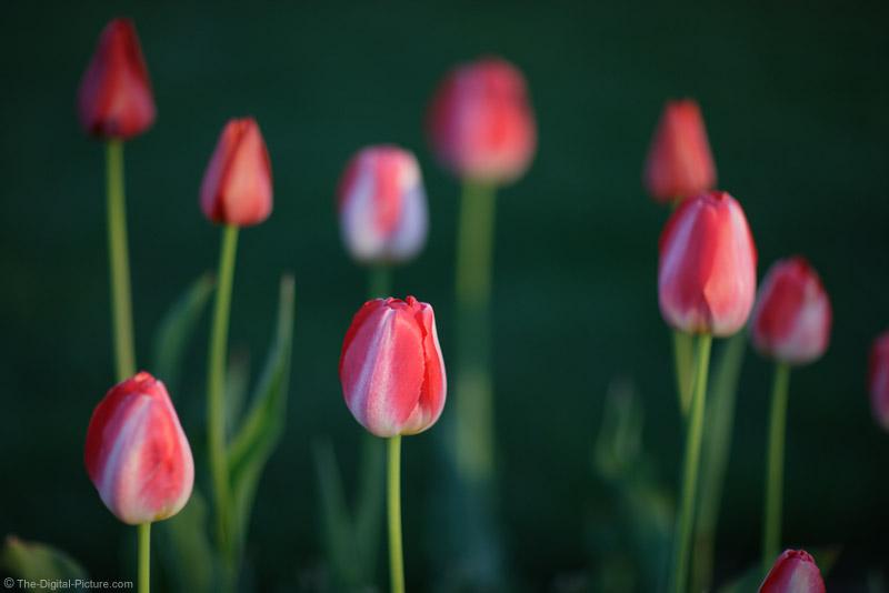 Tulip Garden Picture