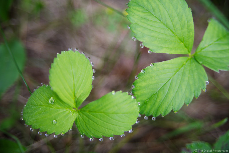 Wild Strawberry Plant Picture