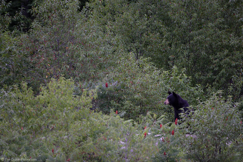 Sitting Black Bear Picture