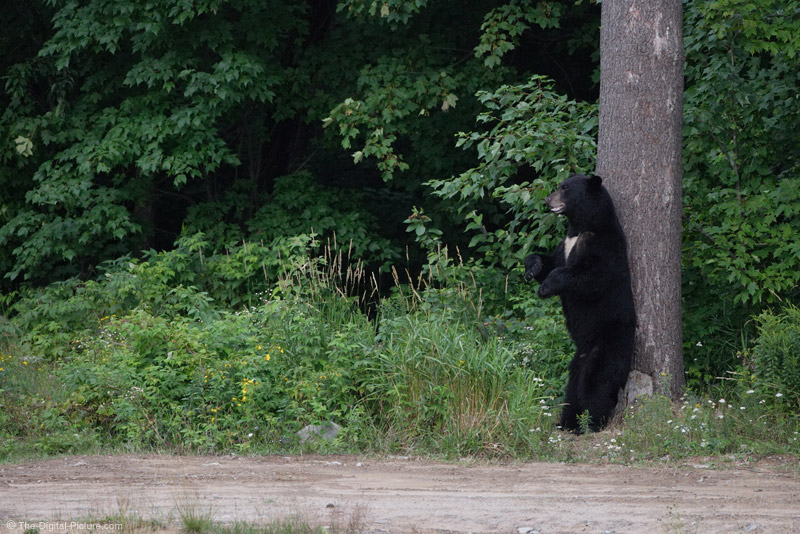Black Bear Itching Back Picture
