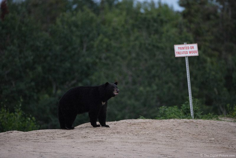 Black Bear and Sign Picture