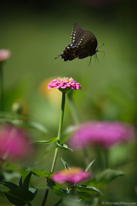 Flying Black Swallowtail Butterfly Picture