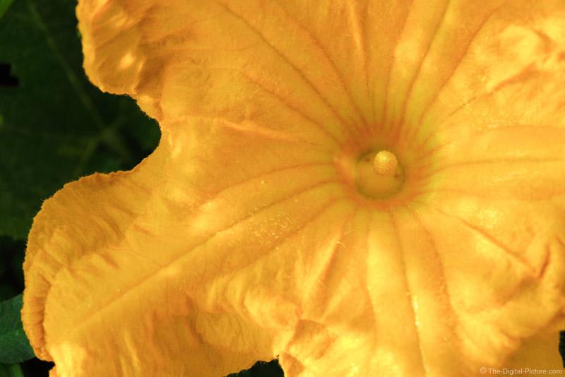 Pumpkin Flower Picture