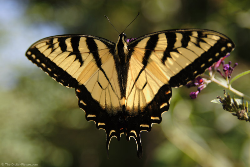 Tiger Swallowtail Butterfly Picture