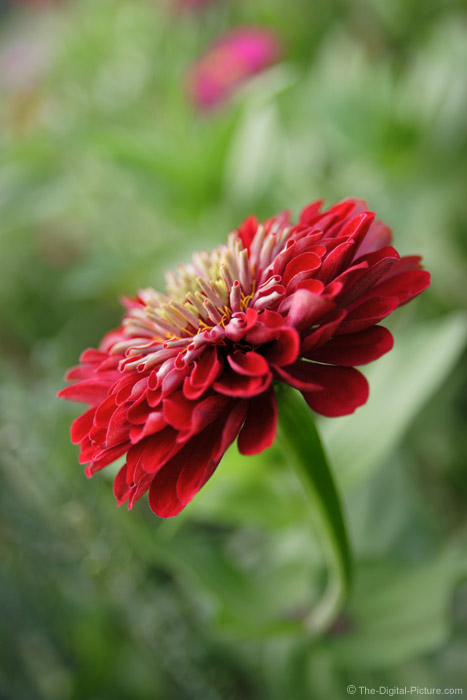 Red Zinnia Flower Picture