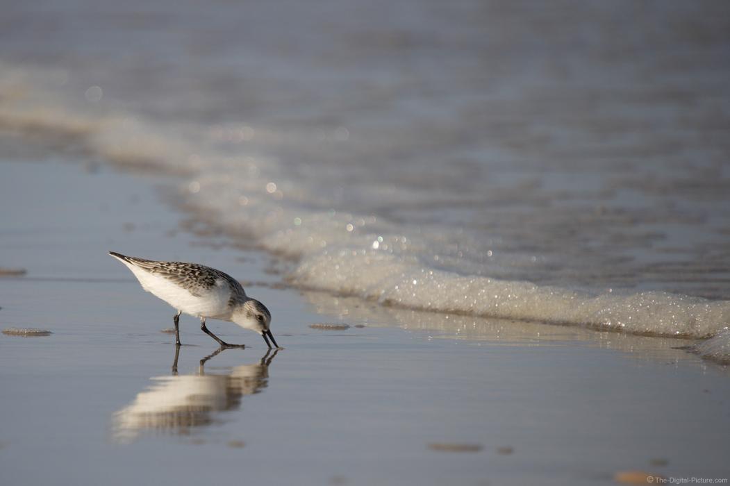 Shore Bird Feeding Picture