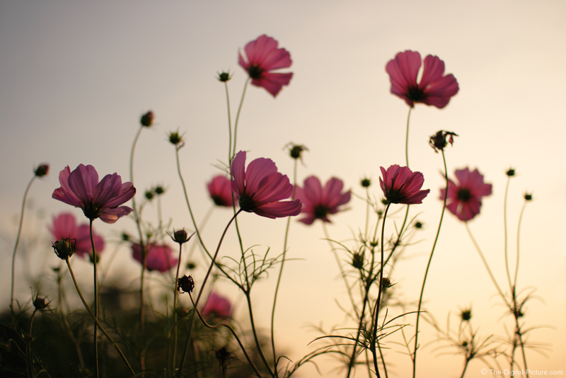 Field of Cosmo Flowers