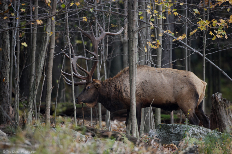 Huge Bull Elk Picture