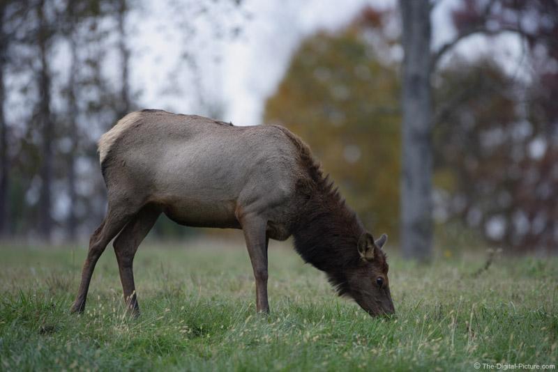 Cow Elk Picture