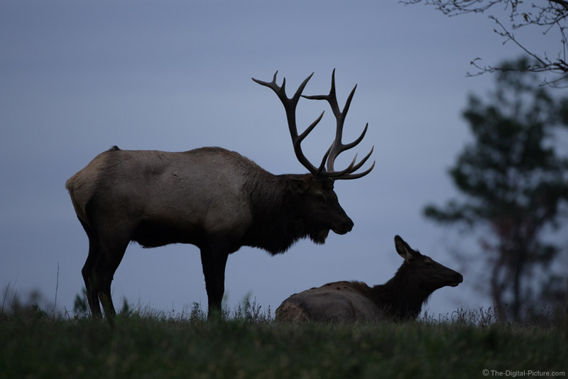 Bull and Cow Elk Silhouette Picure