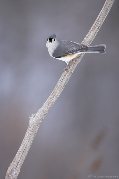 Tufted Titmouse Looking at You Picture