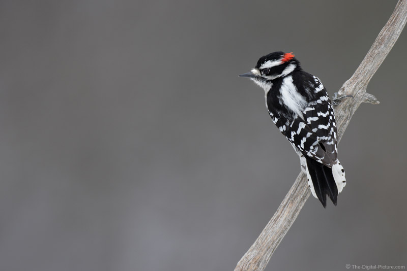 Downy Woodpecker Picture