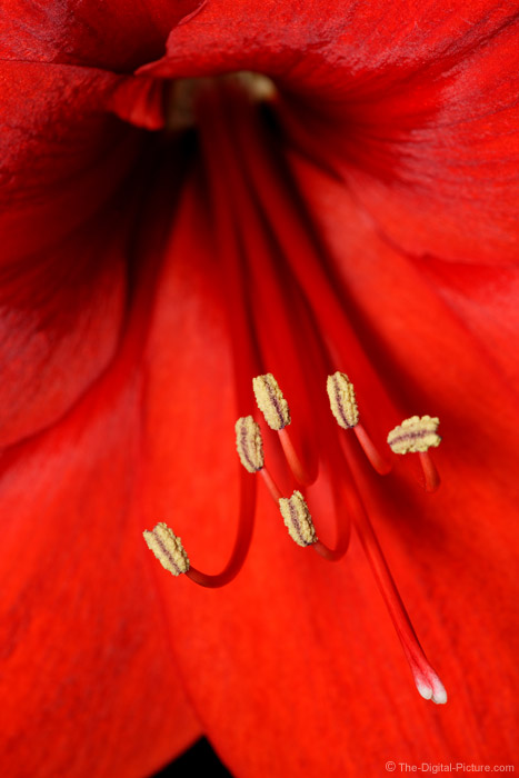 Amaryllis Flower Picture