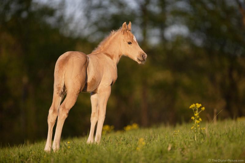 Palomino Quarter Horse Colt 2