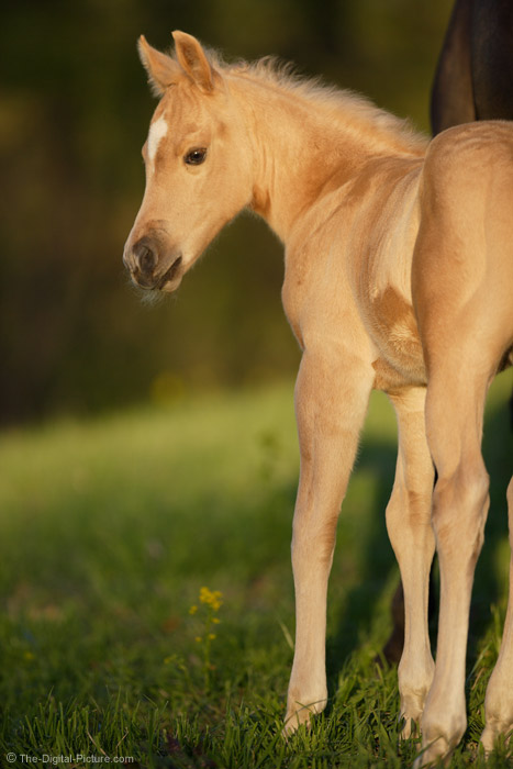 Palomino Colt in Sweet Light Picture