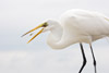 Great Egret Eating Grass Shrimp Picture
