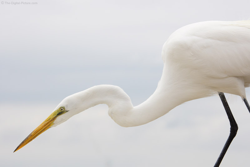 Great Egret Hunting Picture
