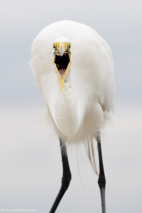 Great Egret Eating Shrimp Picture
