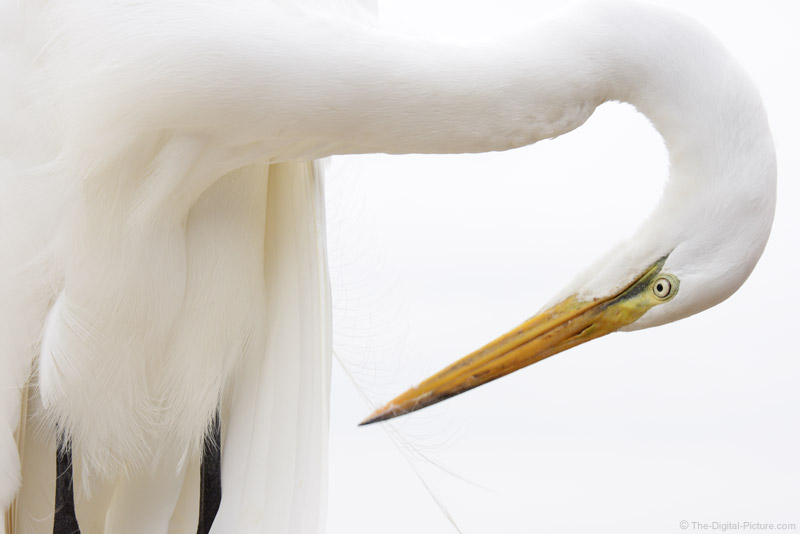 Great Egret Preening Picture