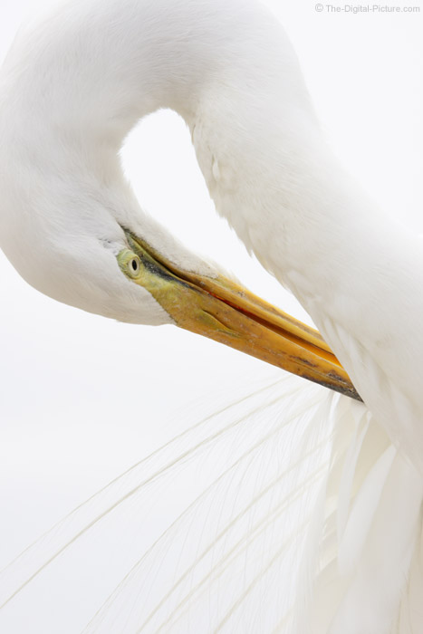 Great Egret Preening Feathers Picture