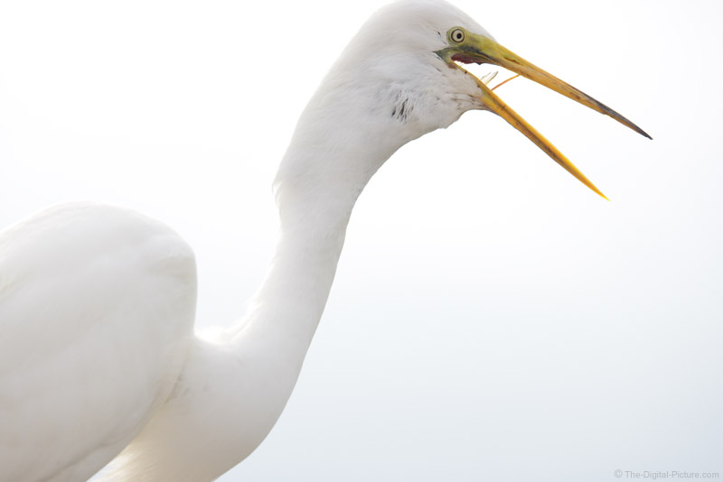 Great Egret Swallowing Fish Picture
