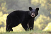Pennsylvania Black Bear 2