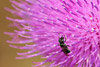 Bee on Thistle Flower Picture