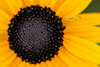 Black-Eyed Susan Close-up Picture