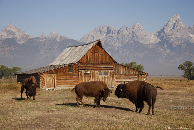 Bison and Mormon Row Barn, Grand Teton National Park