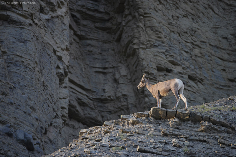 Bighorn Sheep Keeping Watch