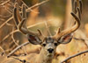 Monster Mule Deer Buck Picture