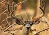 Monster Mule Deer Buck Picture