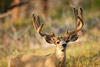 Huge Mule Deer Buck in Velvet