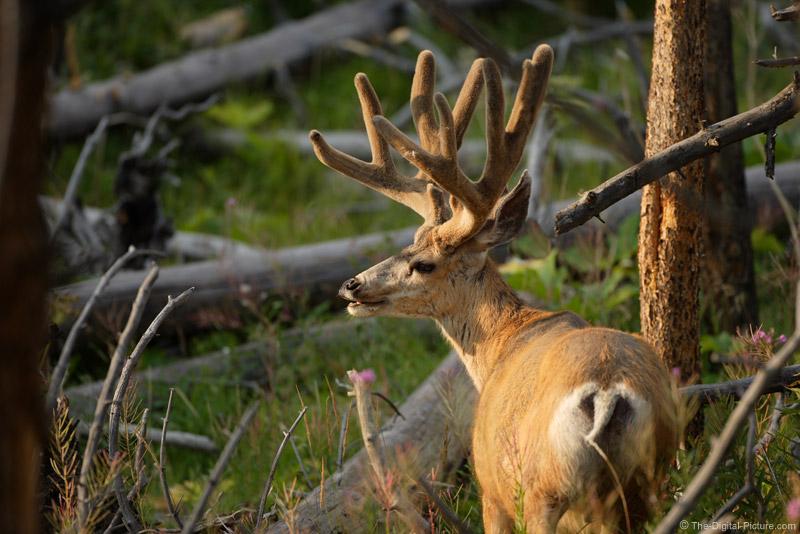 Large Mule Deer Buck