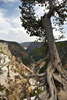 Weather Tree, Yellowstone Canyon Rim