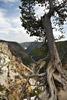 Weather Tree, Yellowstone Canyon Rim