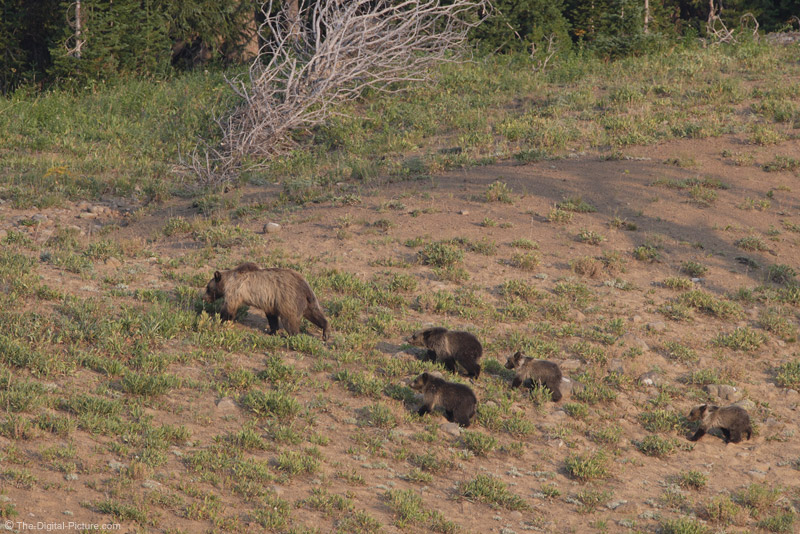 Mother Grizzly Bear and Four Cubs